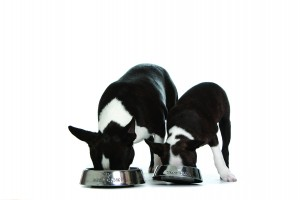 Boston+Terrier-Images-Photos-Animal-000338